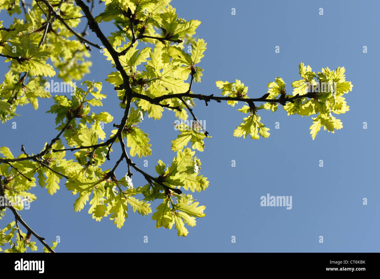 Young oak tree (Quercus robur) foliage backlit against against a blue spring sky - Stock Image