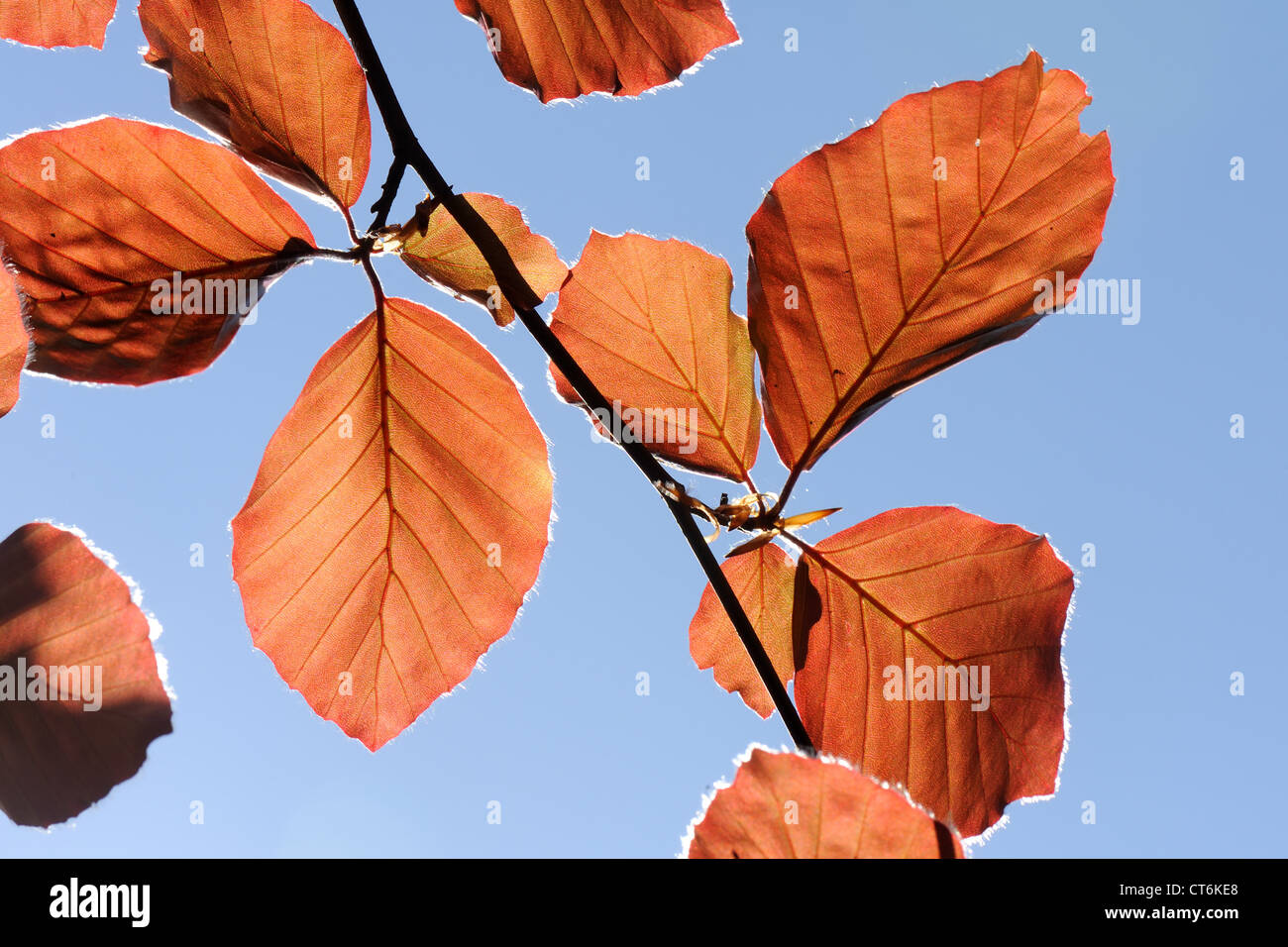 Young copper beech foliage backlit against a blue spring sky - Stock Image