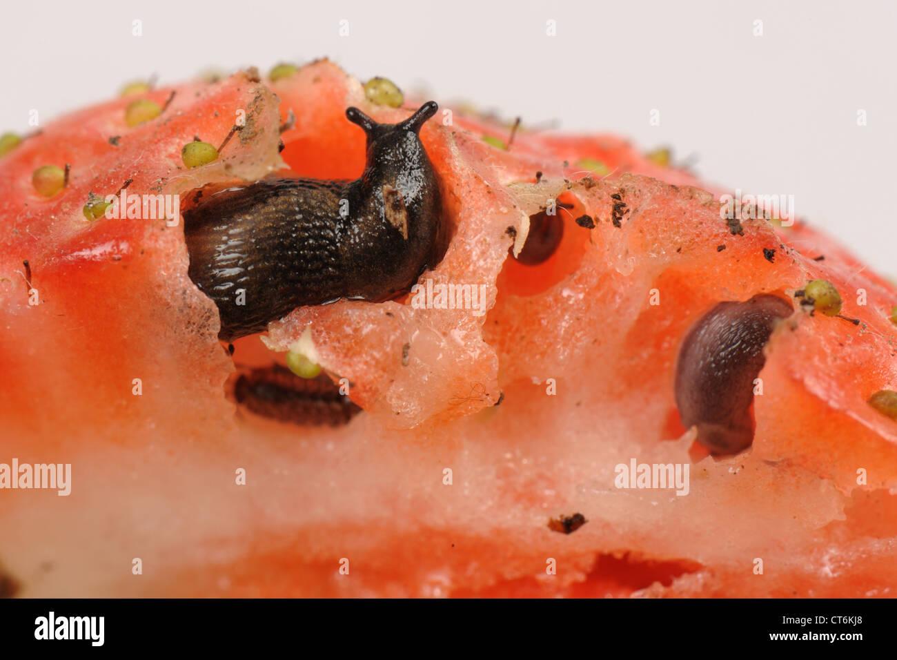 Strawberry fruit with slugs, slug damage and a woodlouse - Stock Image