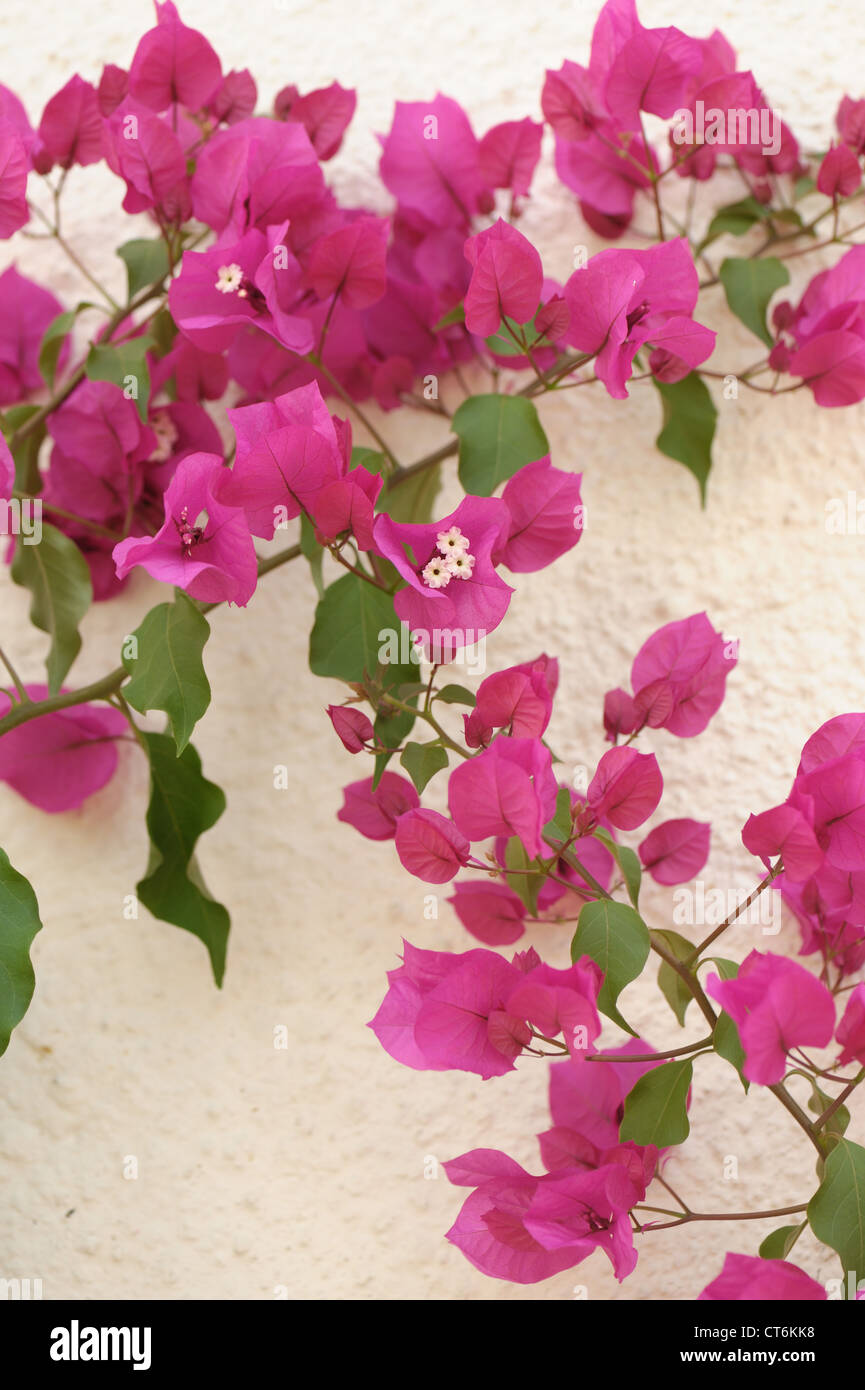 Flowering purple bougainvillea plant in a conservatory (Bougainvillea glabra) - Stock Image