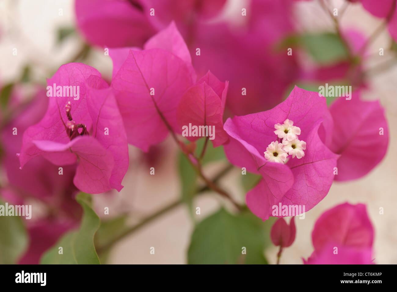 Flowering purple bougainvillea plant in a conservatory (Bougainvillea glabra) - Stock Image