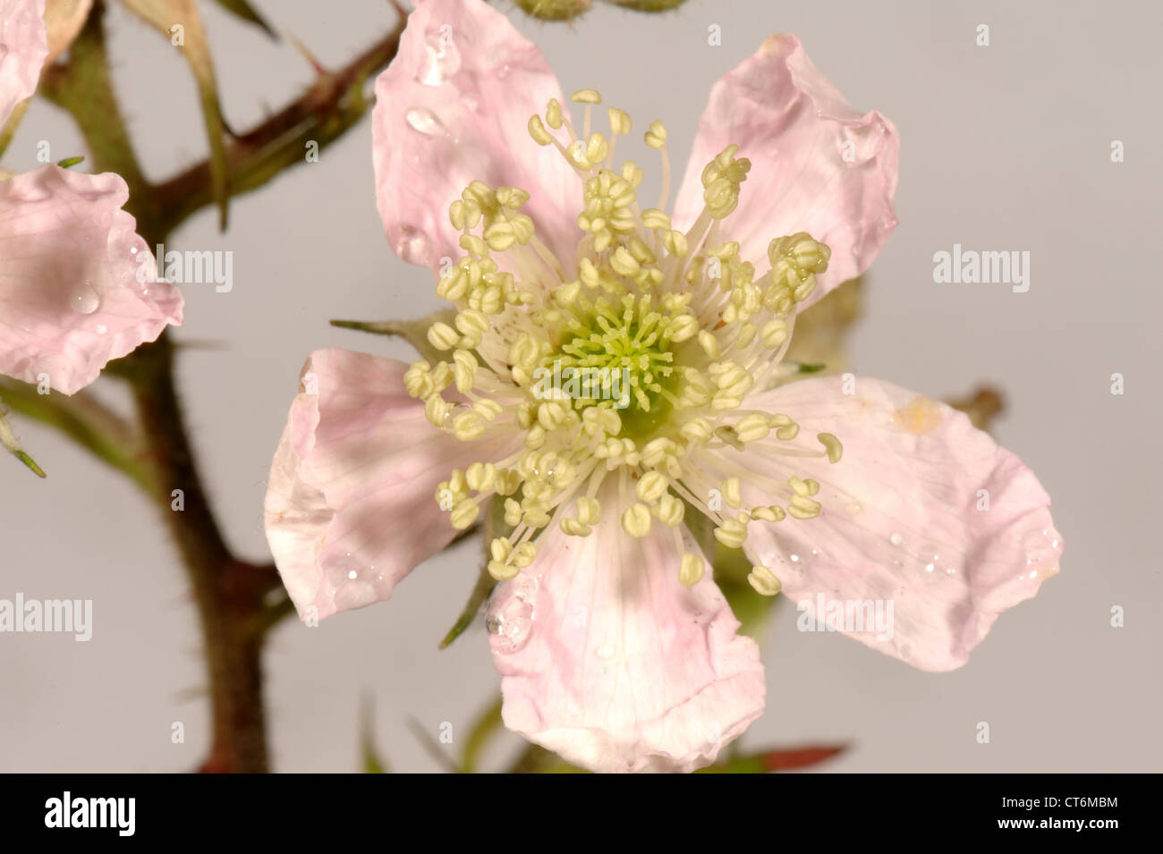 Blackberry or bramble Rubus fruticosus flowers and flower structure - Stock Image