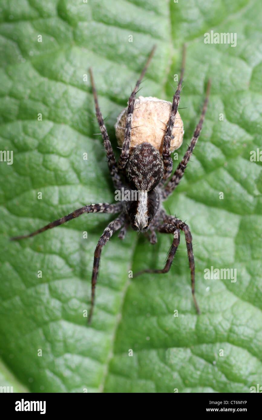 Female Wolf Spider Pardosa sp. Carrying Egg Sac - Stock Image