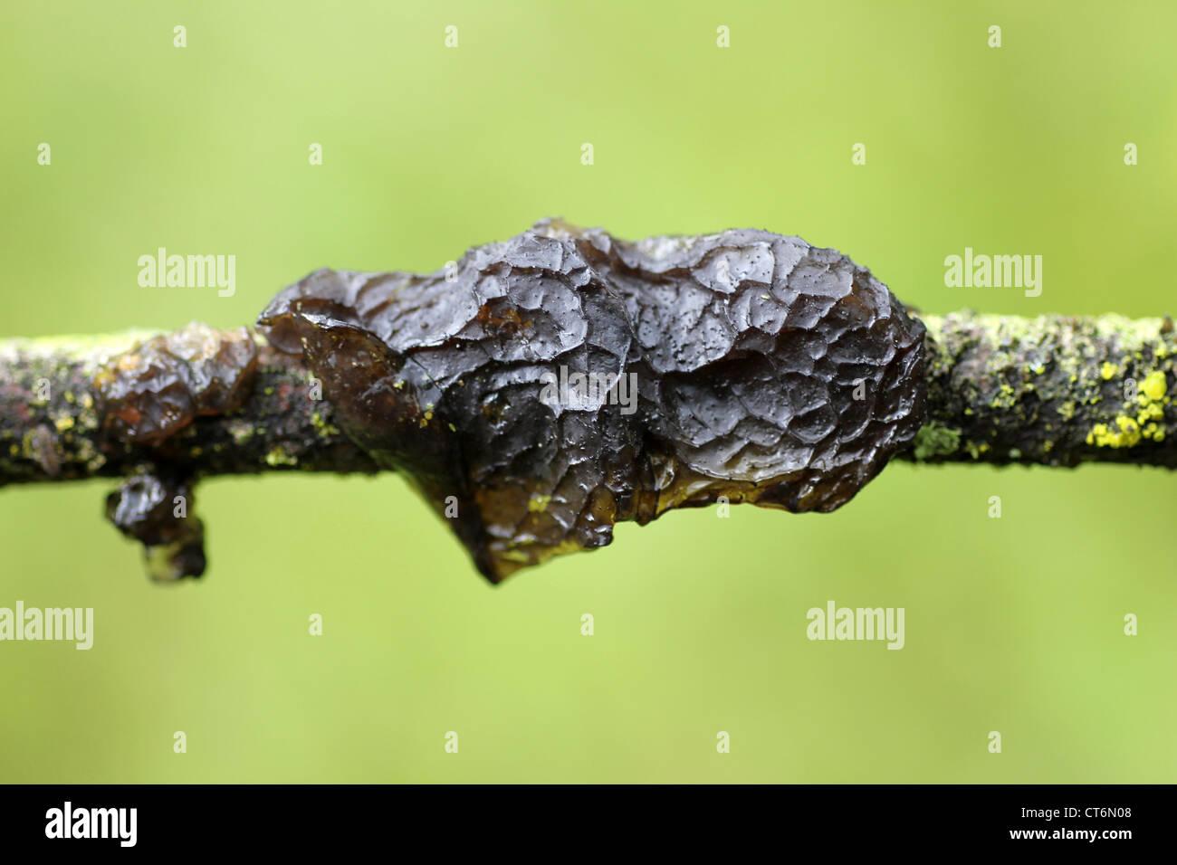 Black Witches' Butter Exidia glandulosa - Stock Image