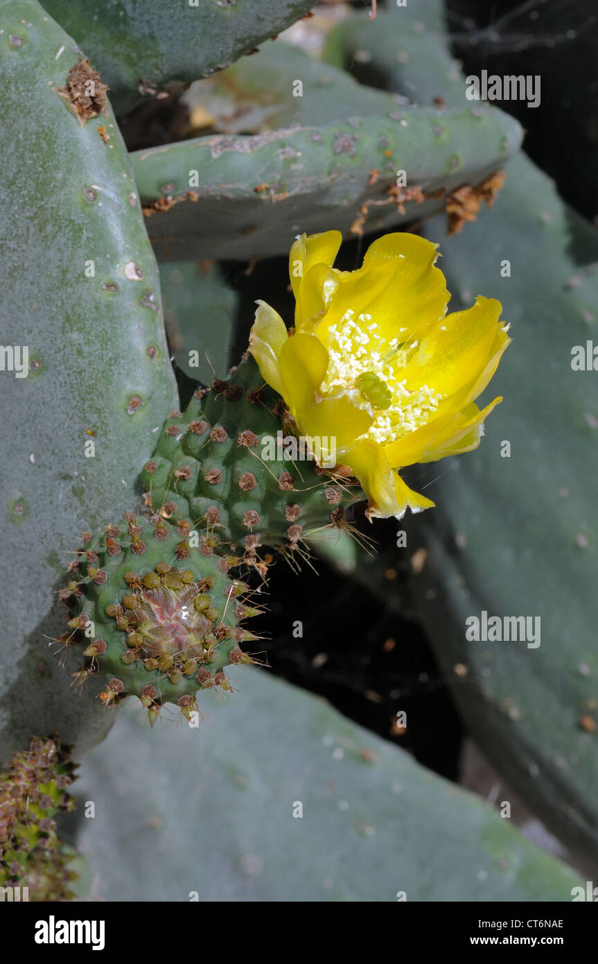 Prickly pear cactus flower, Andalucia, Spain, Western Europe. Stock Photo