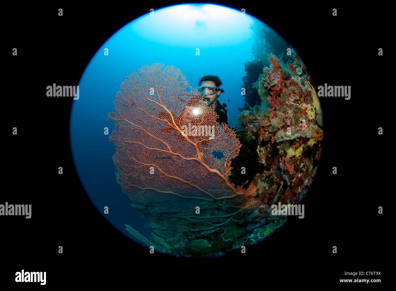 Diver shines light through gorgonian - Stock Image