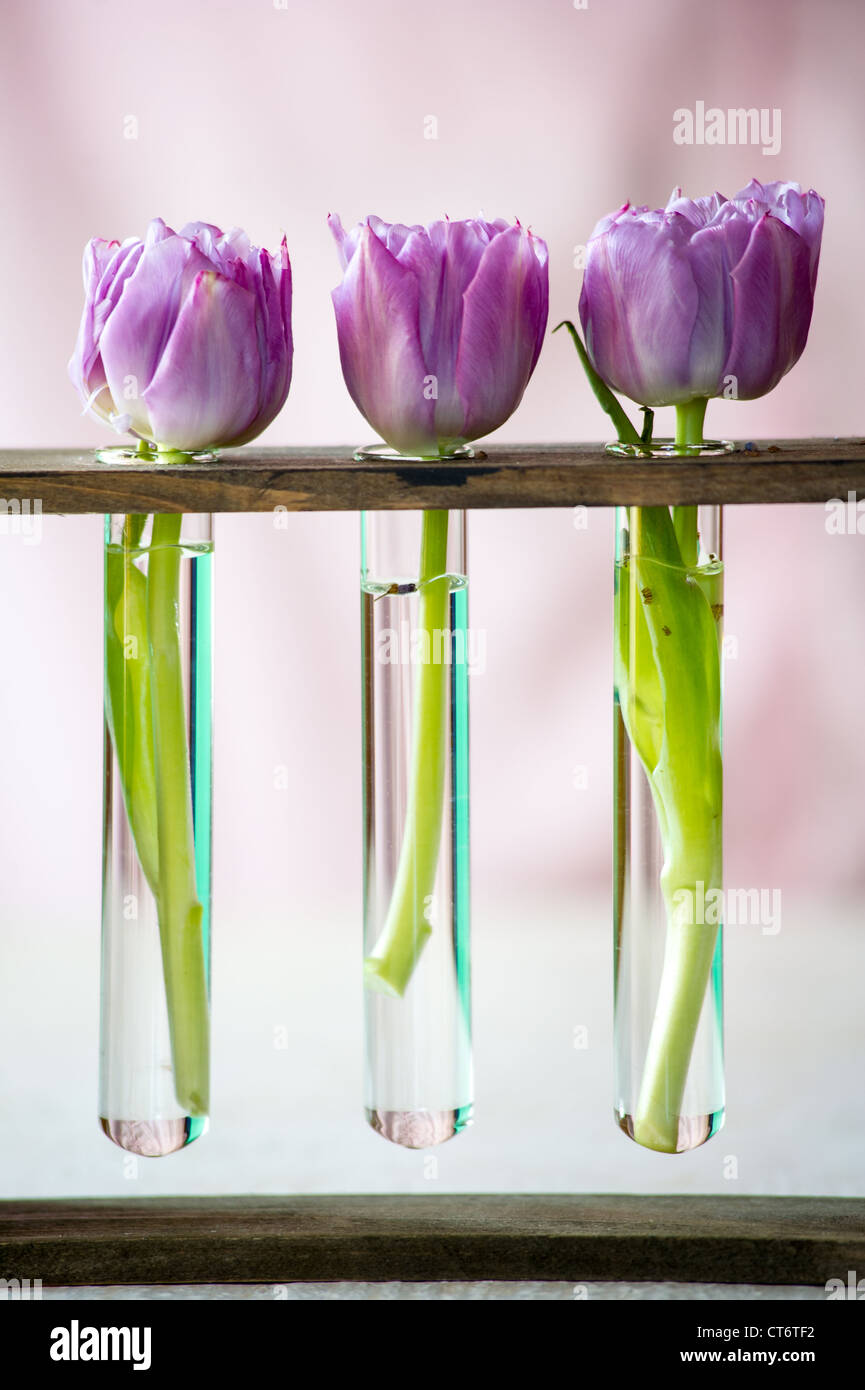 Three purple tulips in a small glass flasks with water. Shallow DOF - Stock Image