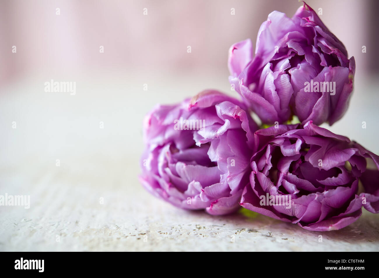 Bouquet of three purple tulips lays on the white table. Blurring background with copy space, shallow DOF - Stock Image