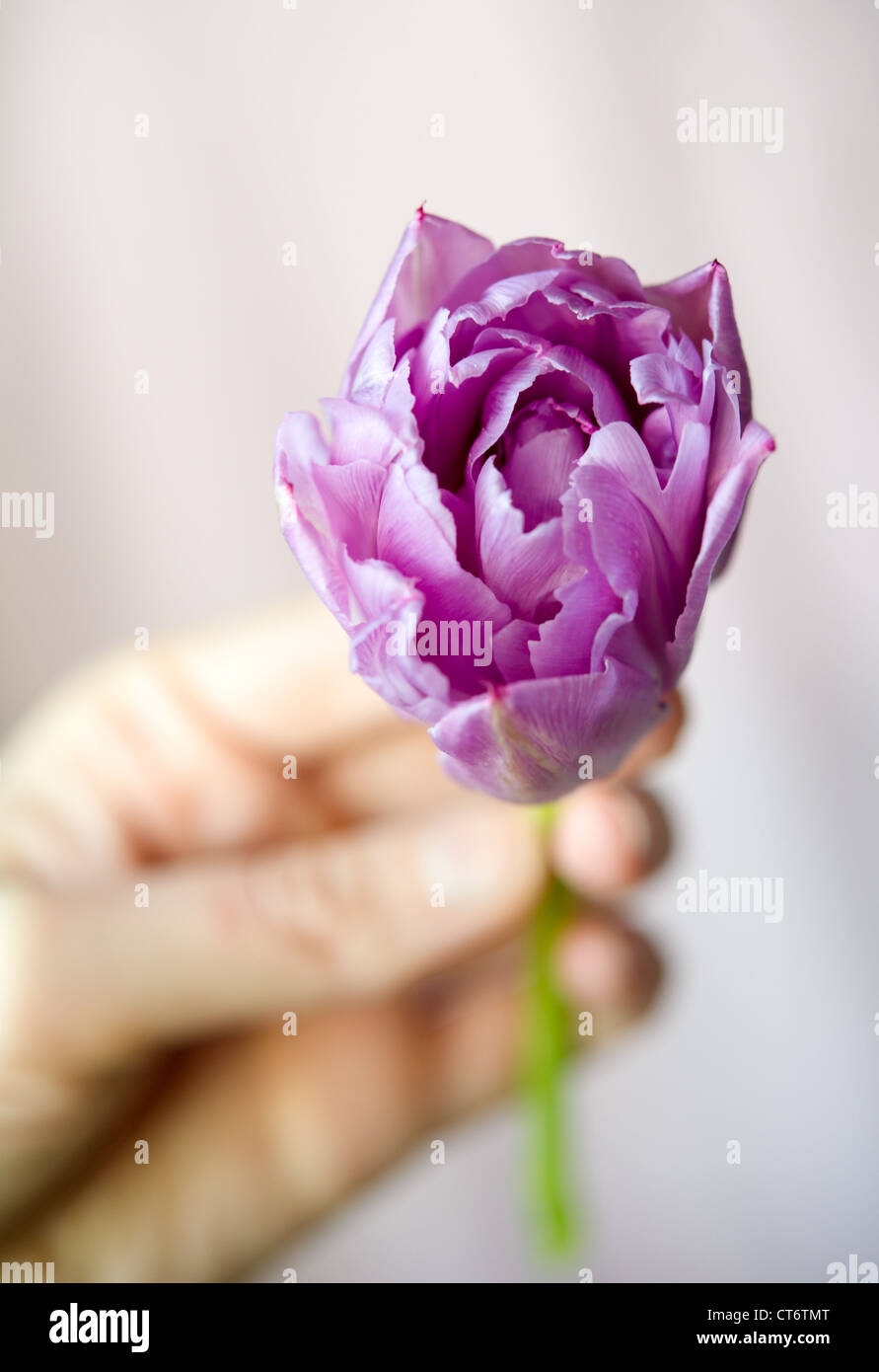 Women's hand holding small purple tulip against the light blurring background. Shallow DOF - Stock Image