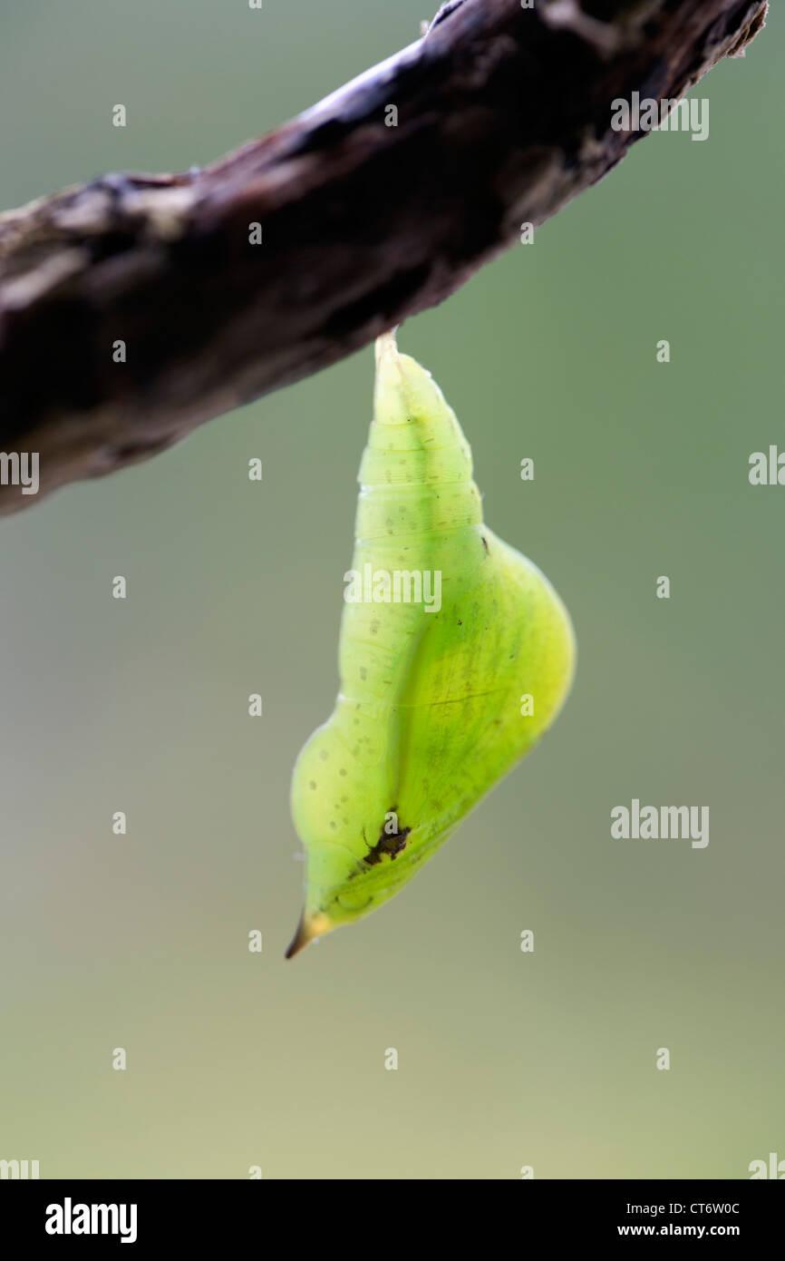 Brimstone Butterfly; Opisthograptis luteolata; pupa; UK - Stock Image