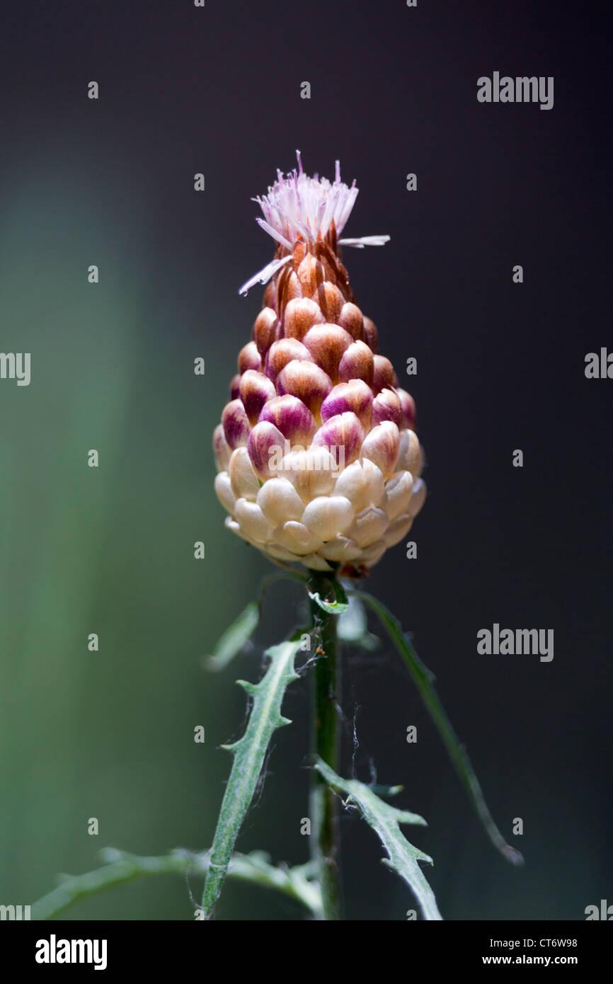 Cone Thistle; Centaurea toletana; Catalonia; Spain - Stock Image