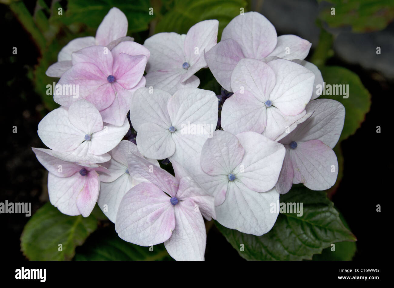 Bunch Of White And Light Pink Colour Flowers Netherlands Holland