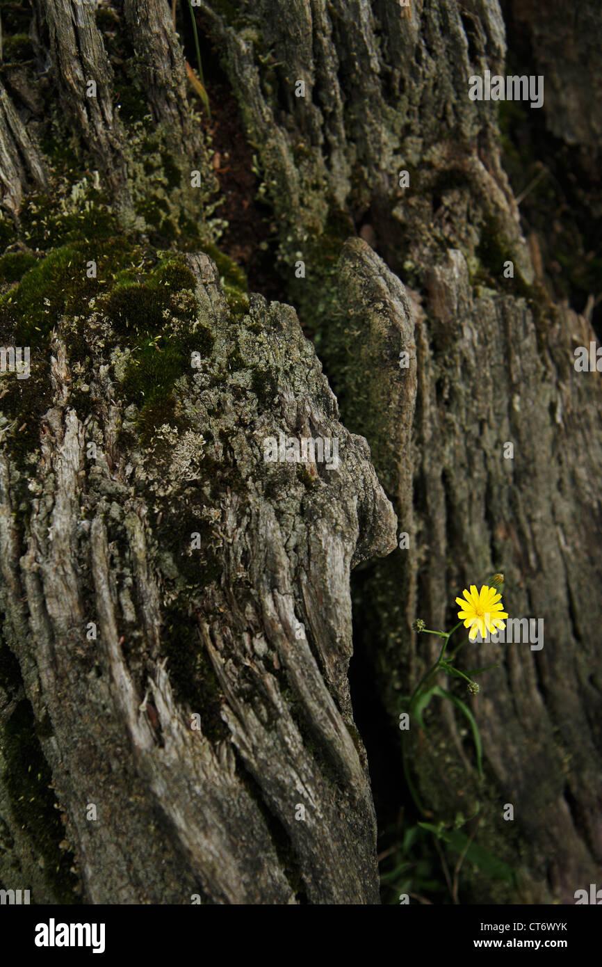 Single yellow dandelion growing at base of tree stump. - Stock Image