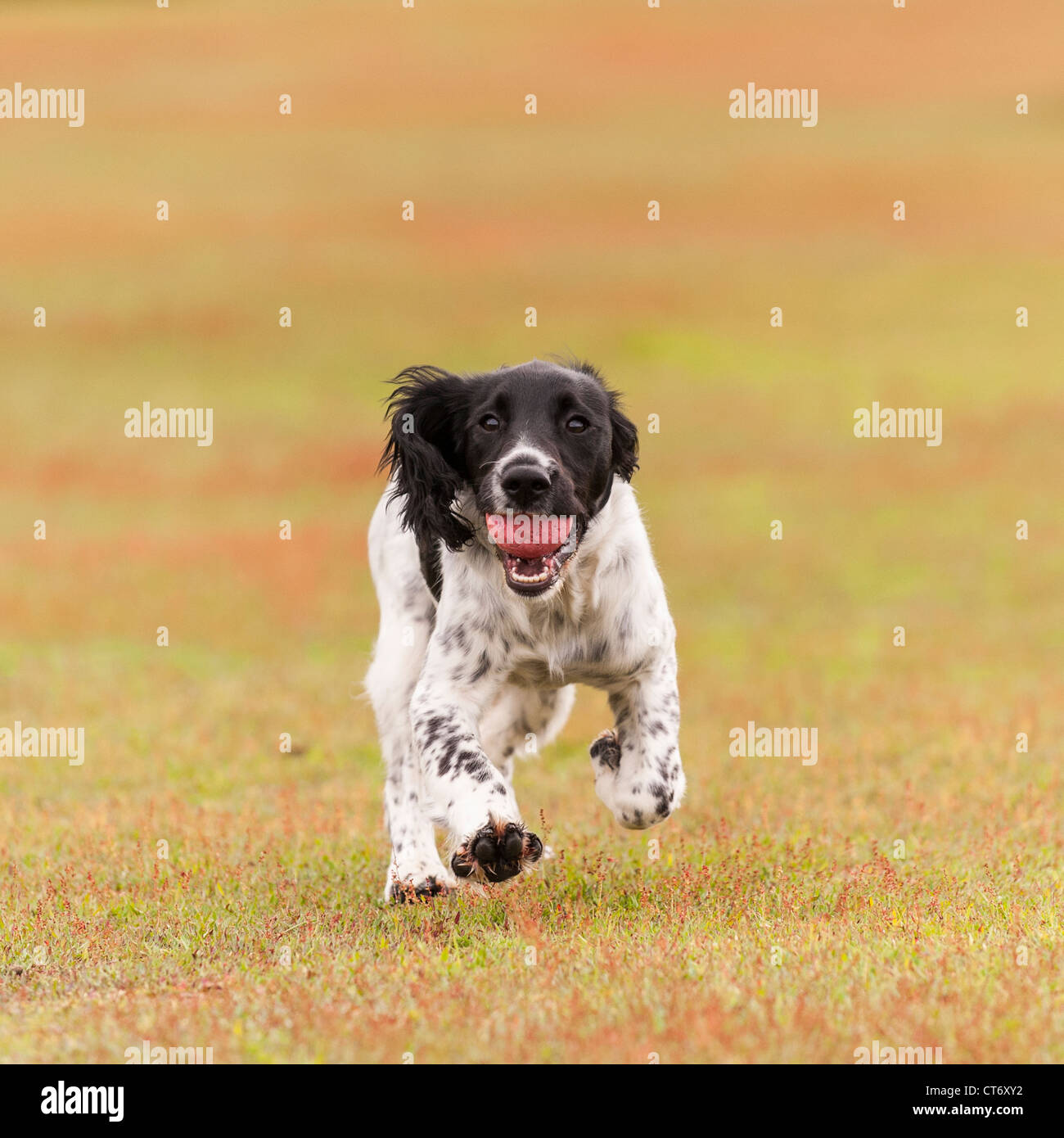 A 5 month old young English Springer Spaniel dog fetching a ball showing movement - Stock Image