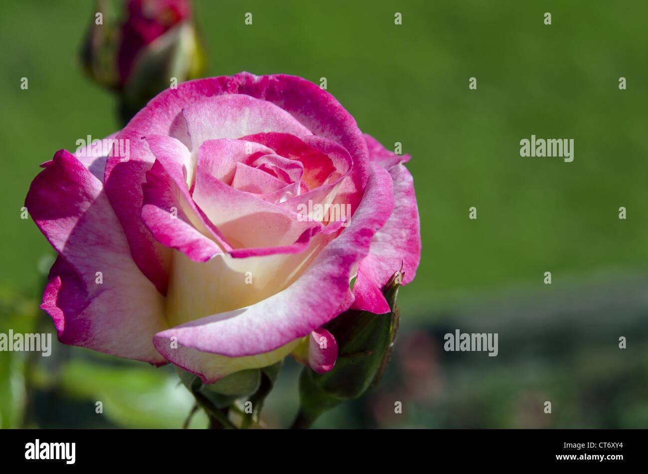 Sweetness Rose, Windsor Castle, Windsor, England - Stock Image