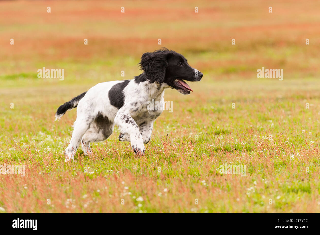 A 5 month old young English Springer Spaniel dog running in a field showing movement - Stock Image