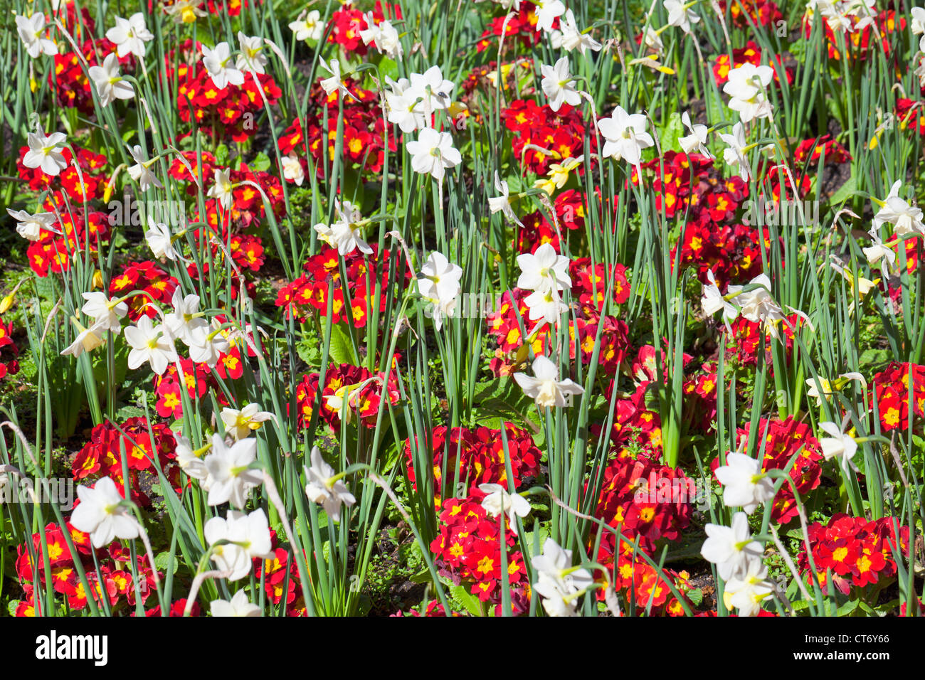 Colorful flower bed with daffodils and pansies, UK - Stock Image