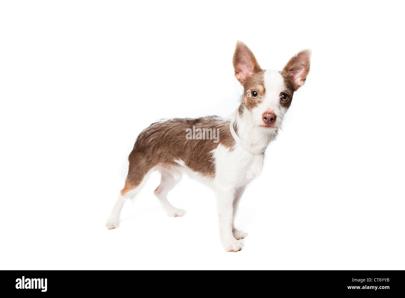 A white and tan wire haired terrier over a white background - Stock Image