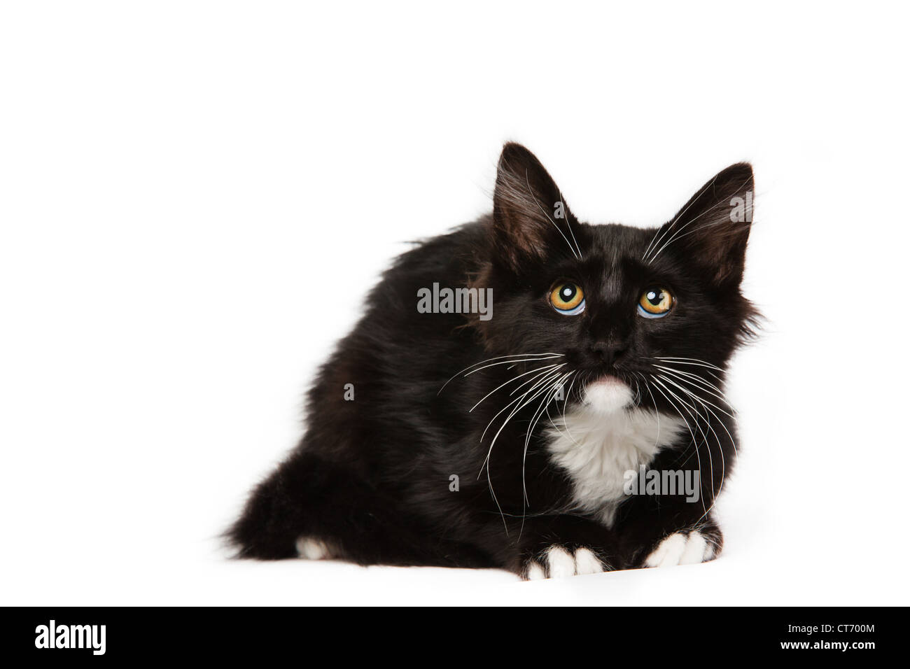 Black Domestic Medium Hair Kitten Stock Photos Black Domestic