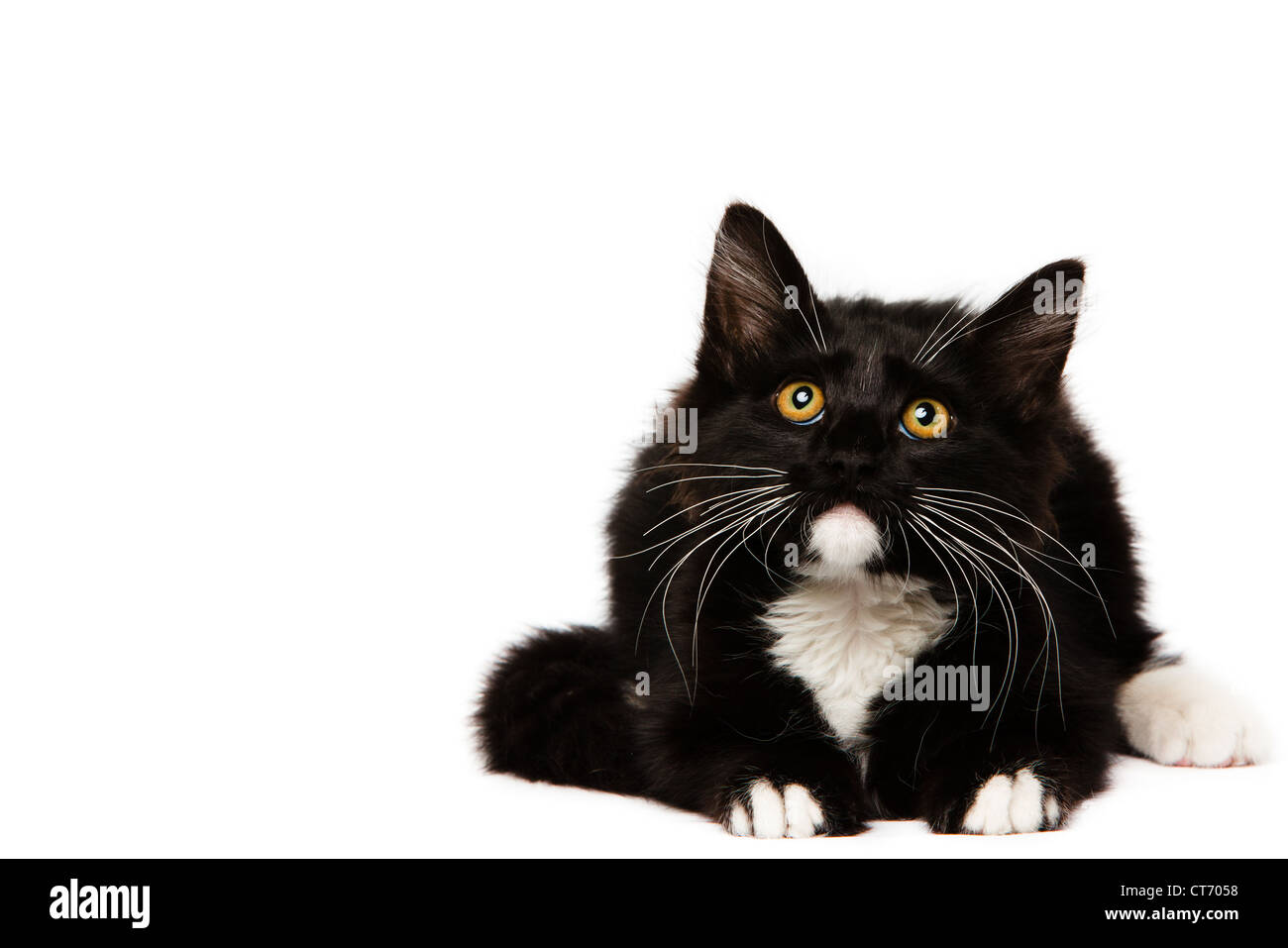 Black Domestic Medium Hair Kitten Stock Photo 49326292 Alamy