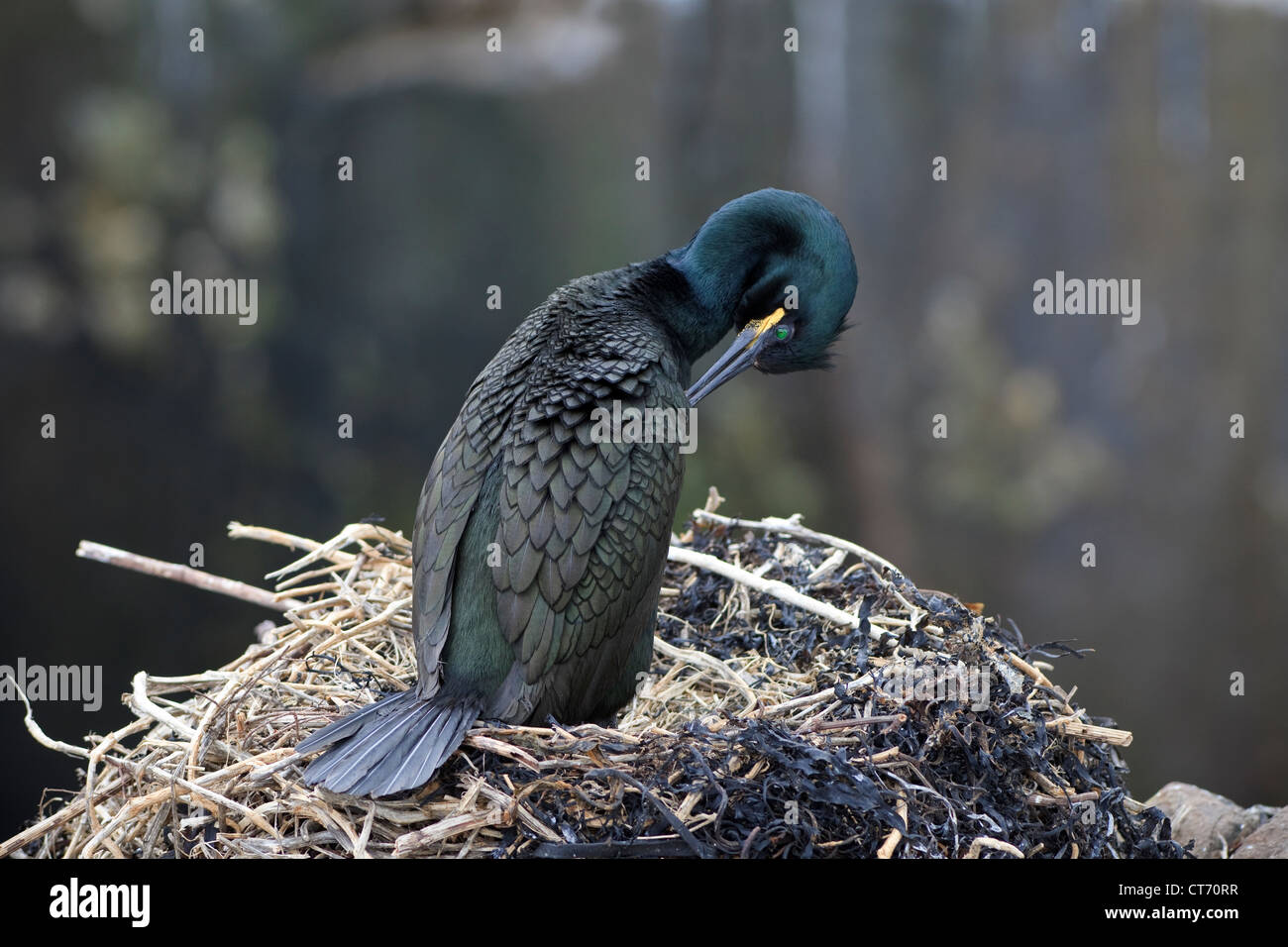 Adult shag preening and standing on a nest, Farne island, UK, Northumberland, England - Stock Image