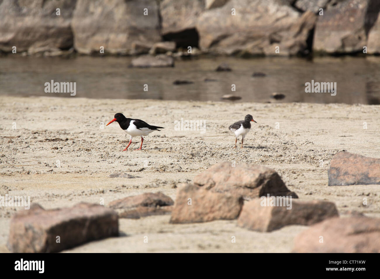 Isle of Barra, Scotland. An oystercatcher and its fledgling on the west coast sand dunes and beach of Barra, near - Stock Image