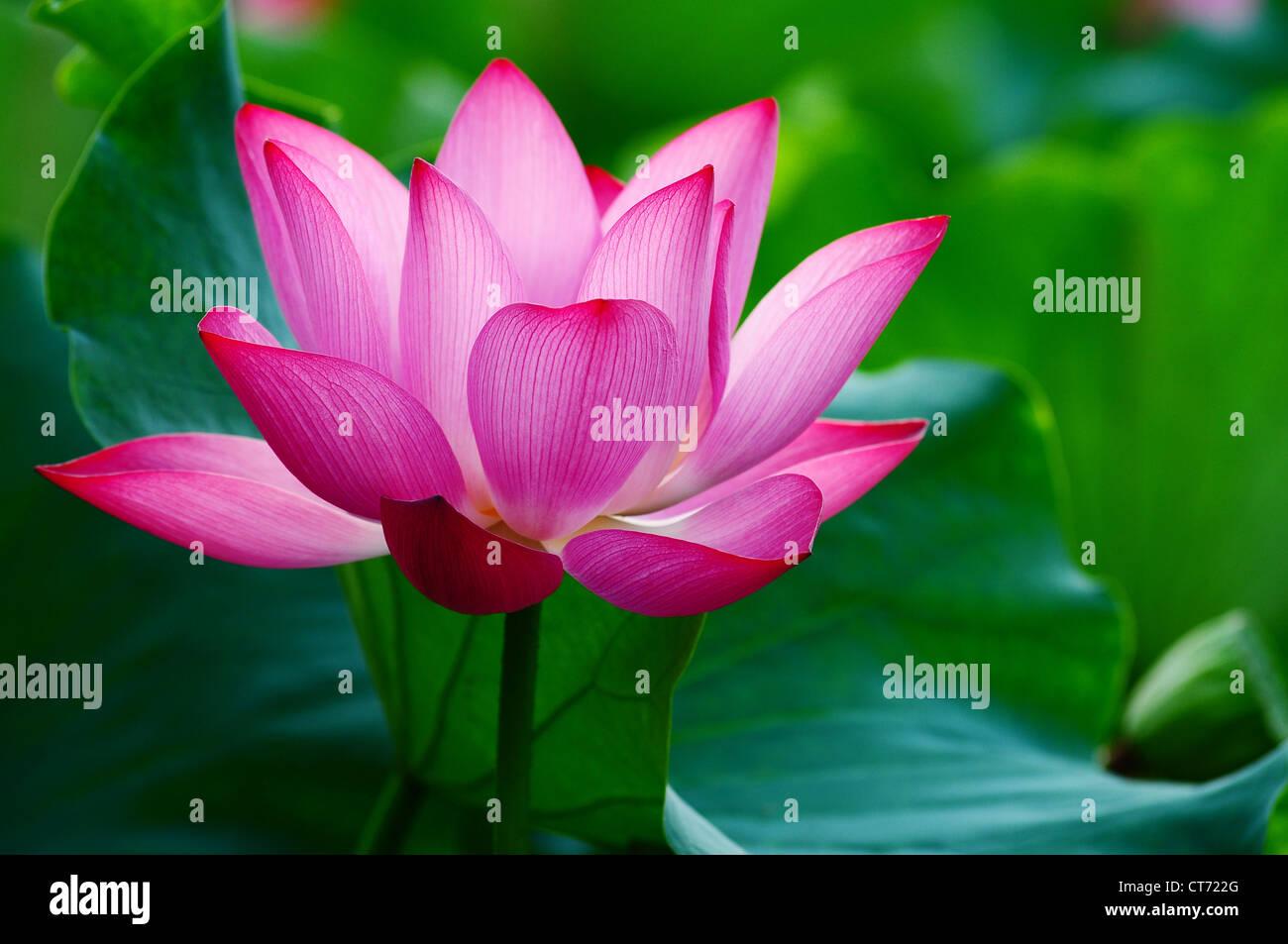 Wild bloom lotus flower stock photos wild bloom lotus flower stock blooming lotus flower in a pond in the summer sunlight stock image izmirmasajfo