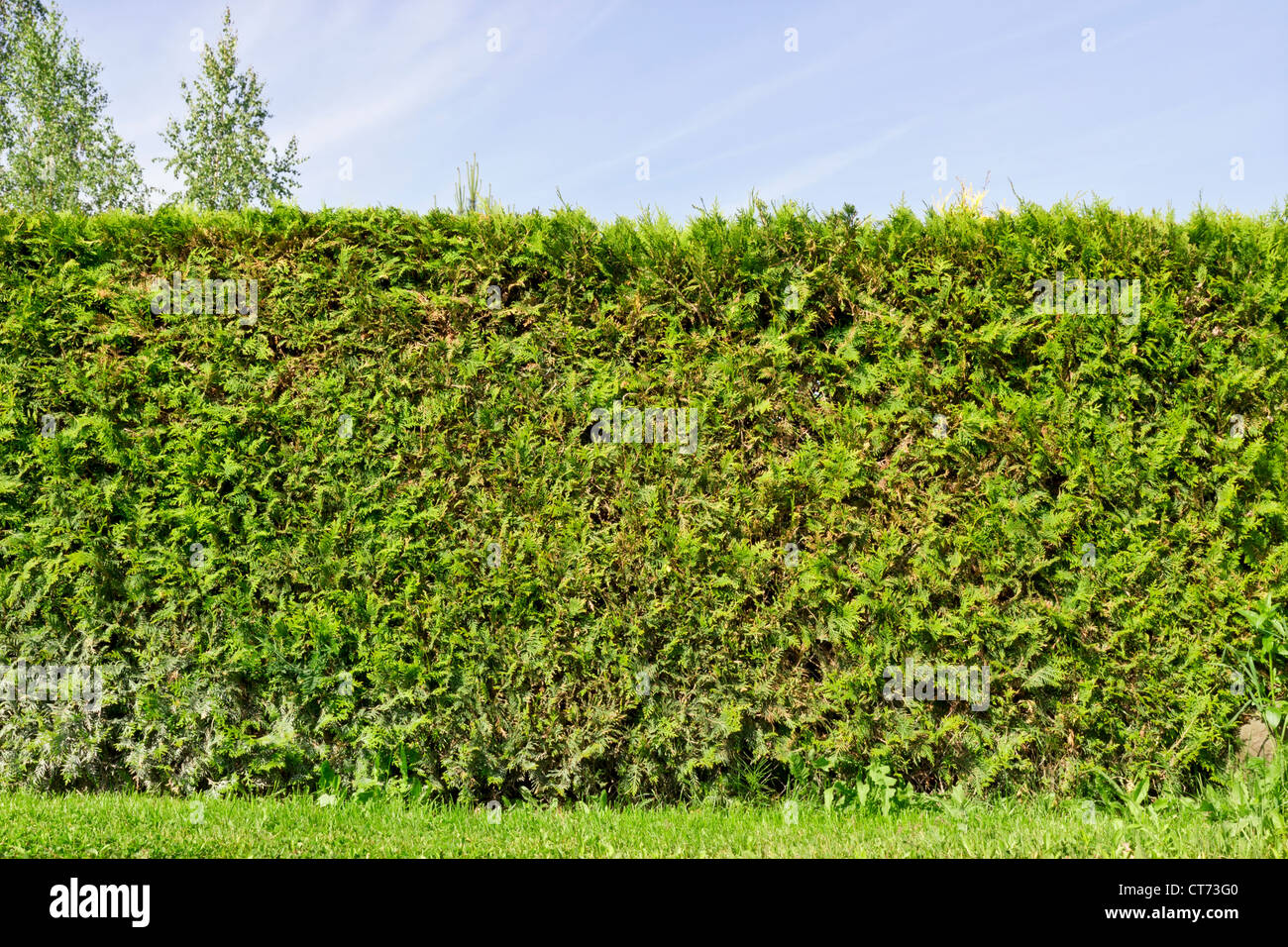 Fragment of a rural fence hedge from evergreen plants ( the Thuja). Sunny summer day - Stock Image
