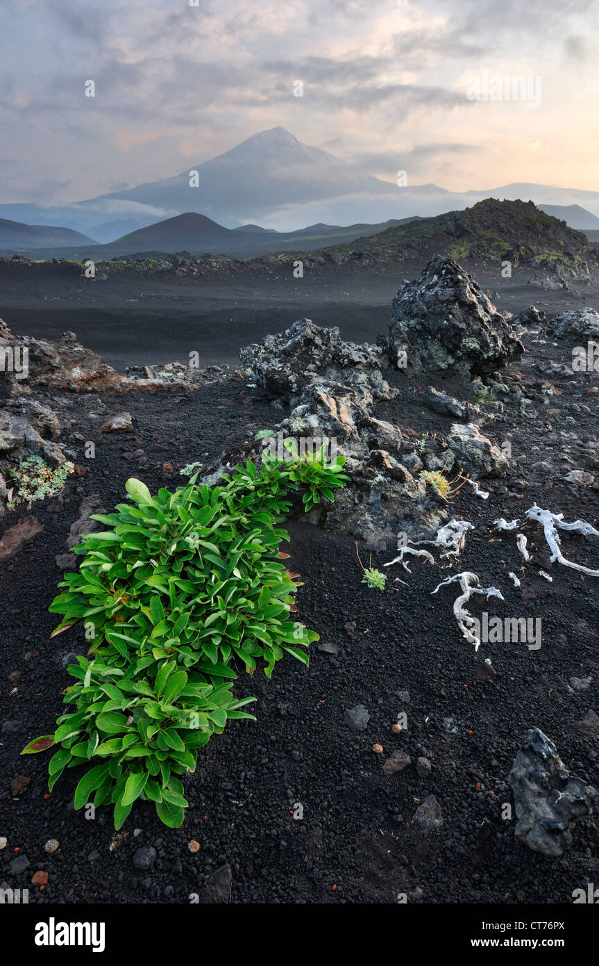 plant growing on lava field in Tolbachik volcano area on Kamchatka - Stock Image