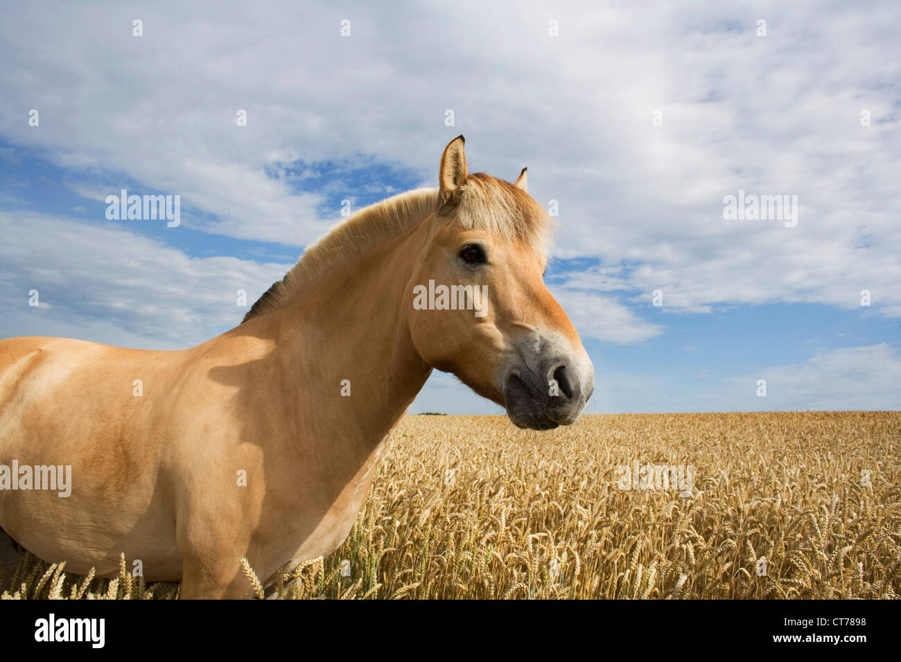 broewn horse in front of field - Stock Image