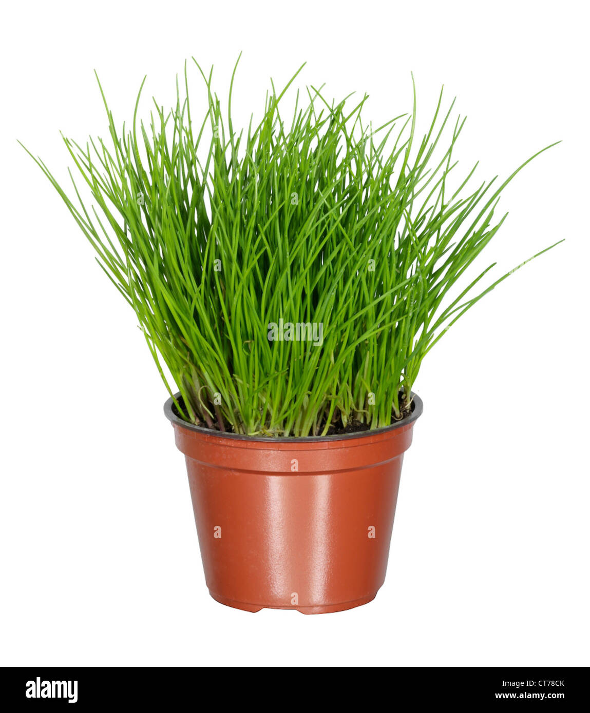 Image of: Chives In Flower Pot Stock Photo Alamy