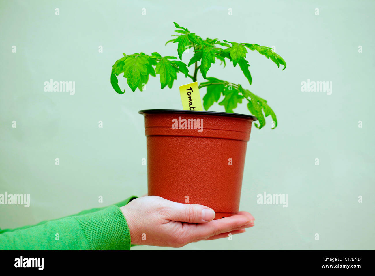 Person holding a tomato plant - Stock Image