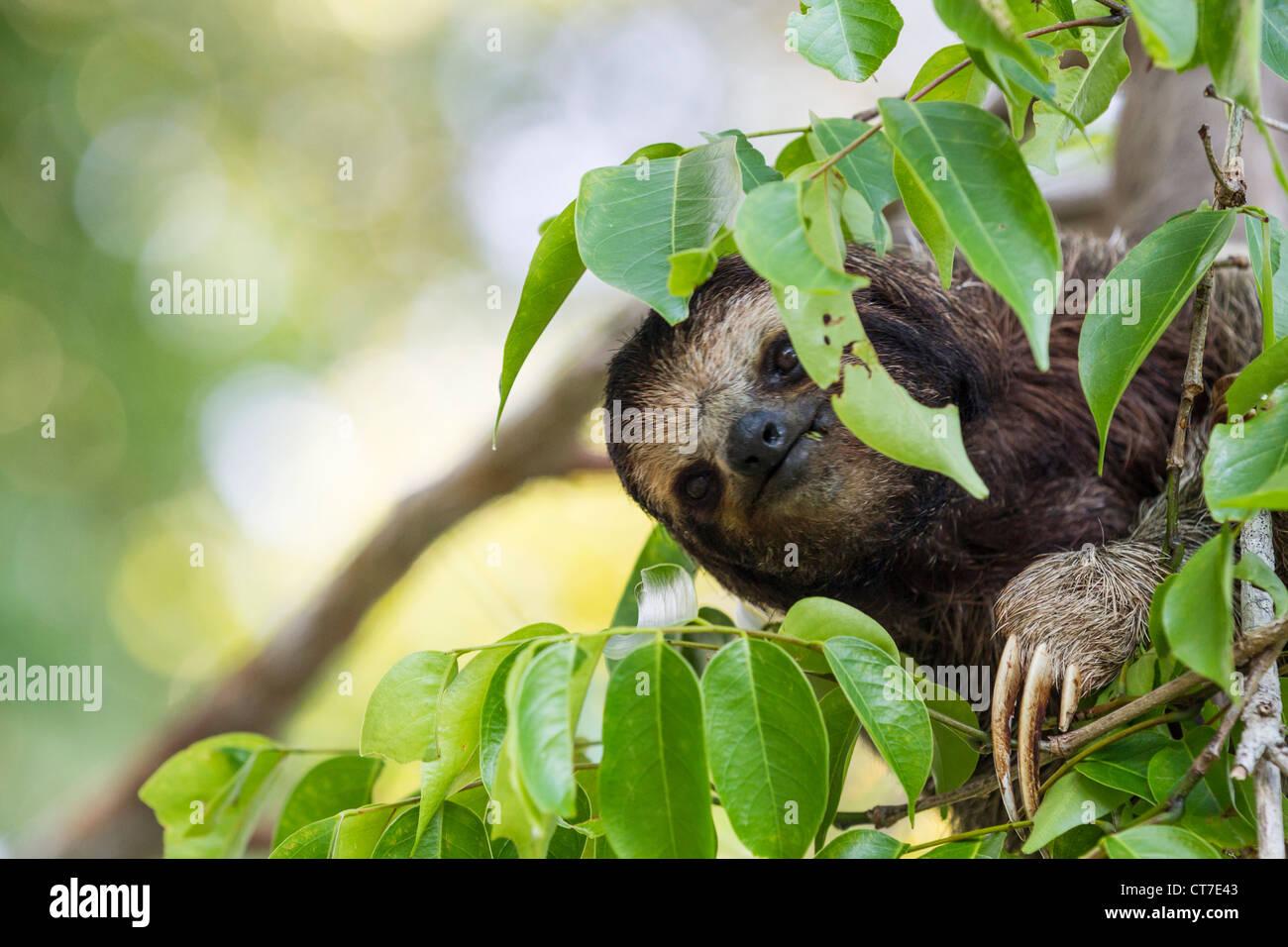 Three-toed sloth (Bradypus variegatus) foraging on Isla Carenero, Bocas del Toro, Panama. Stock Photo
