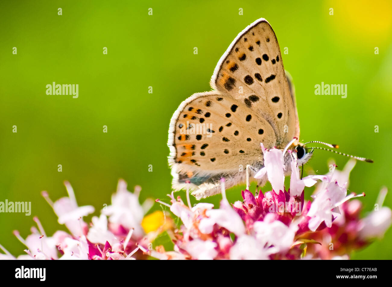 common blue, Polyommatus icarus on a wild thmye - Stock Image