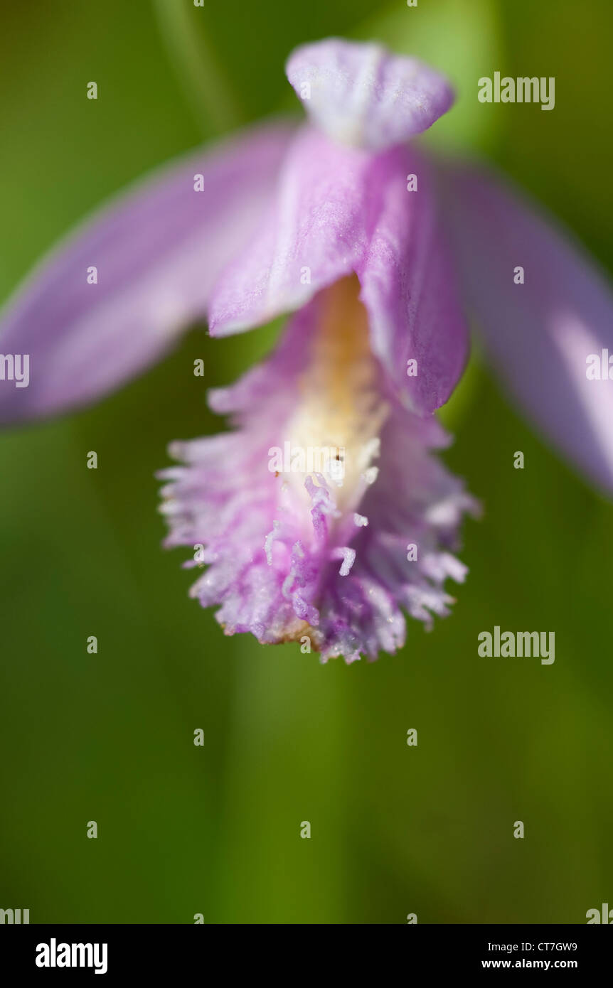 A Rose Pogonia in a field in Maine in the spring. Stock Photo