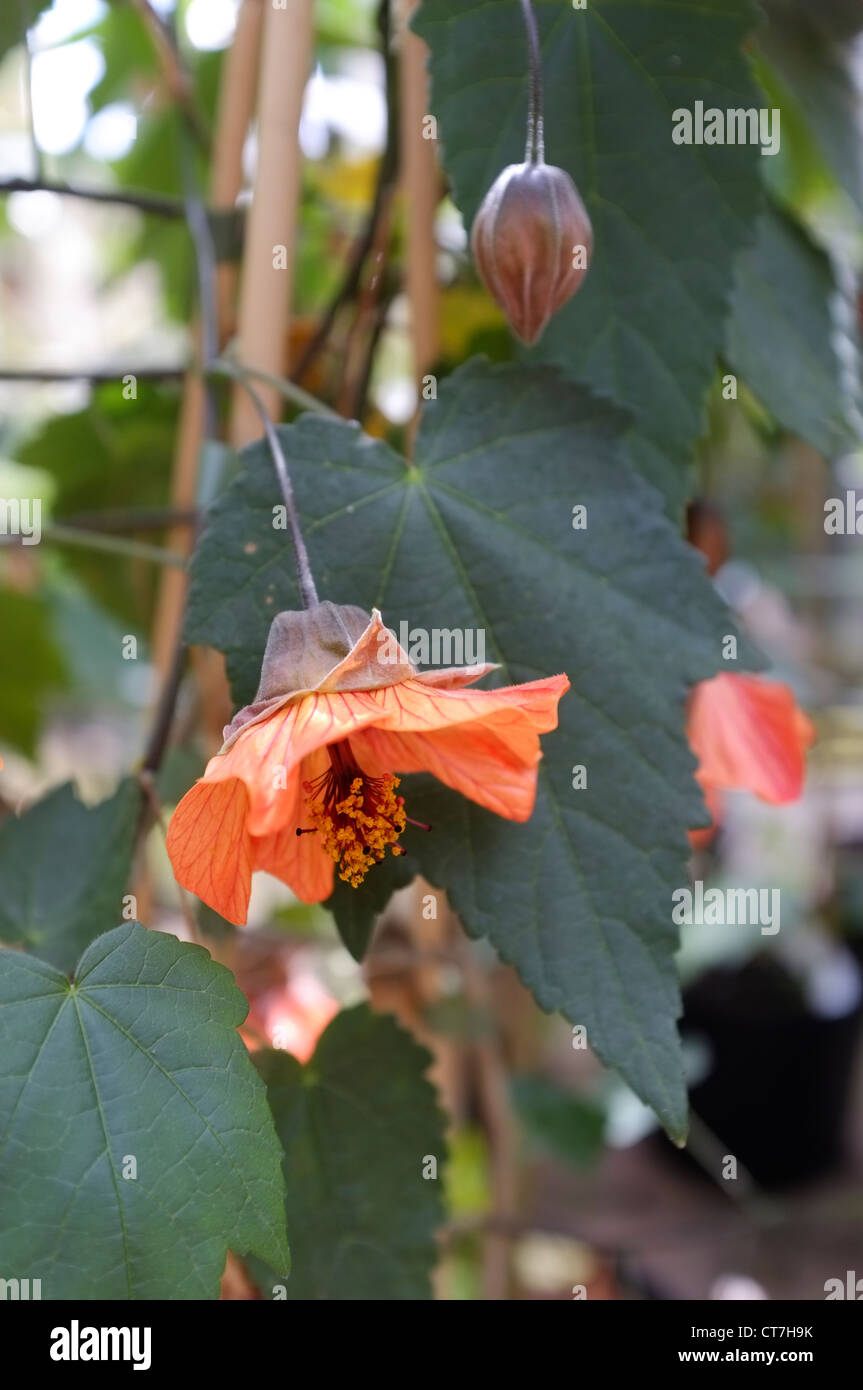 Abutilon 'Tango' Flowering - Stock Image