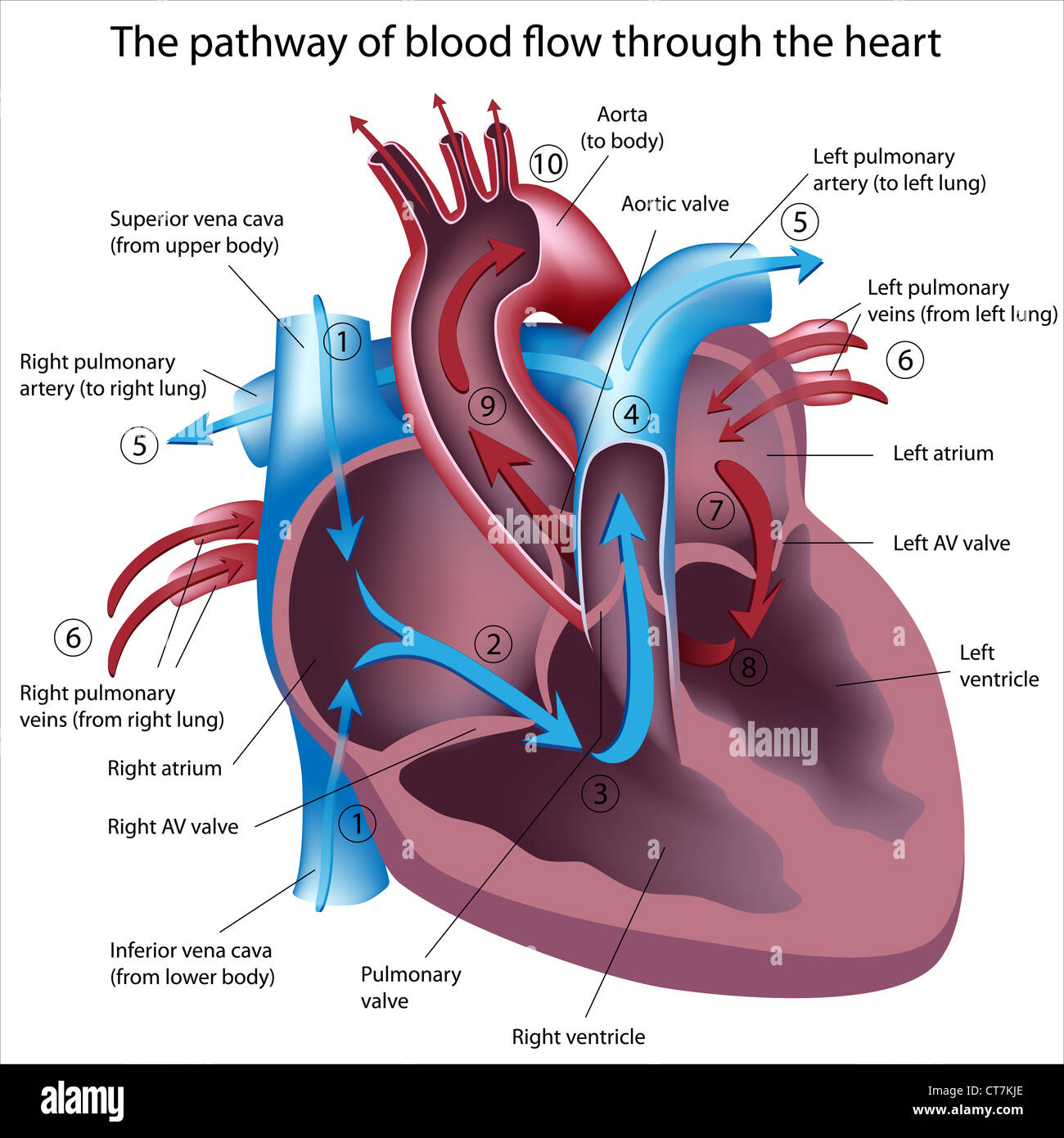 Pathway Of Blood Flow Through The Heart Stock Photo 49341558 Alamy