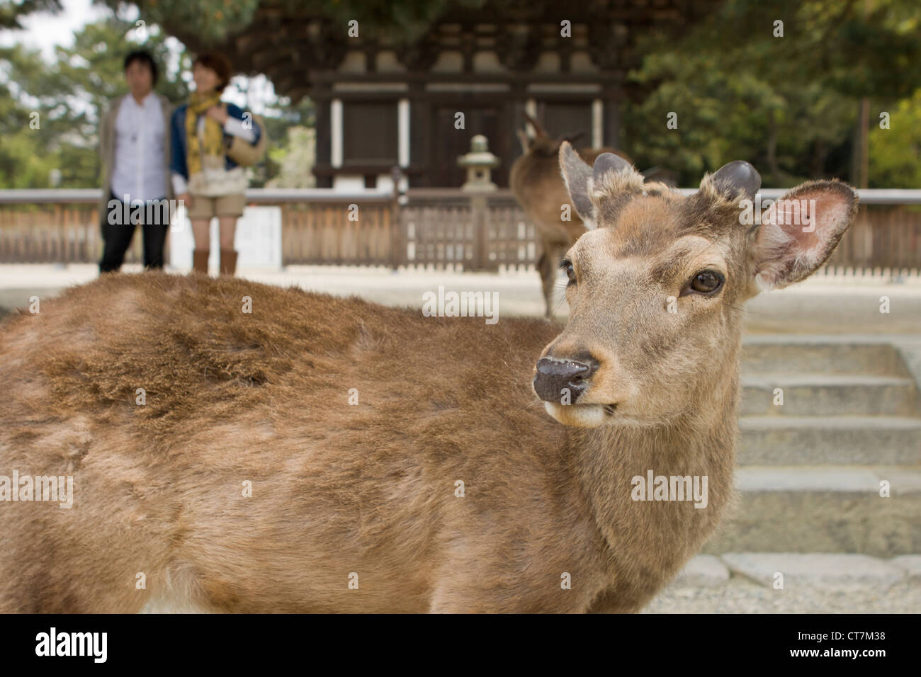 Holy Sika deer in the famous Japanese city of Nara. - Stock Image