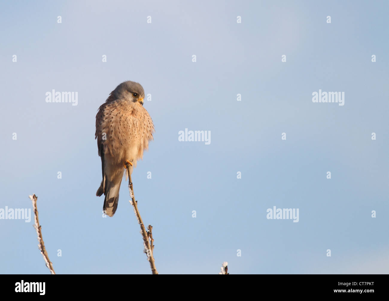 kestrel bird of prey perched on a twig against a pale blue sky - Stock Image