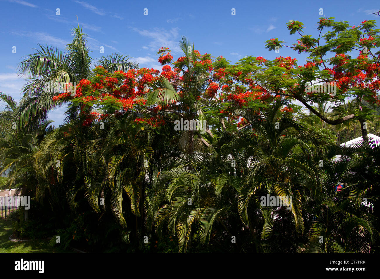 Red-flowering Poinciana (Delonia regia) trees and Palm trees, Trinity Beach, North Queensland, Australia - Stock Image