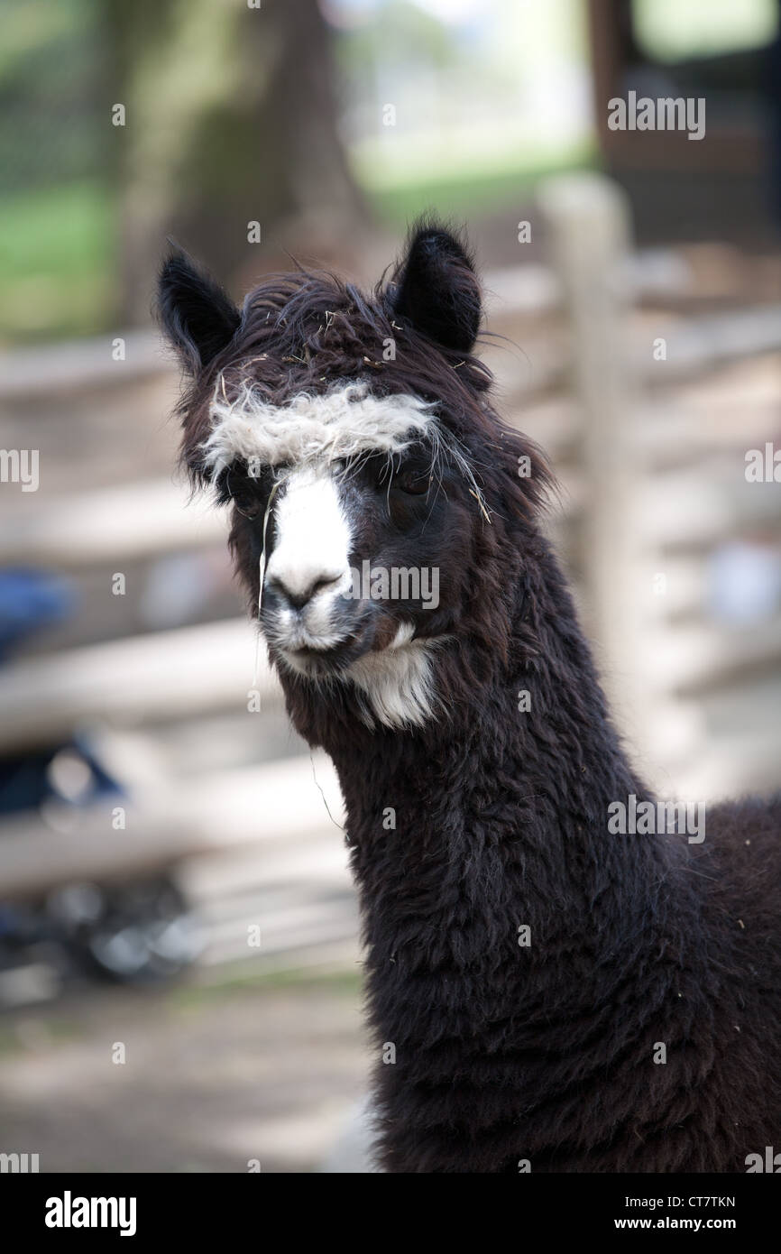 a llama at a petting zoo stock image