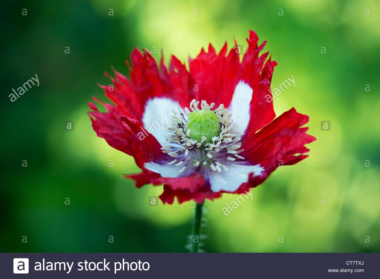 Papaver Somniferum Victoria Cross Poppy Flower Against Green Stock