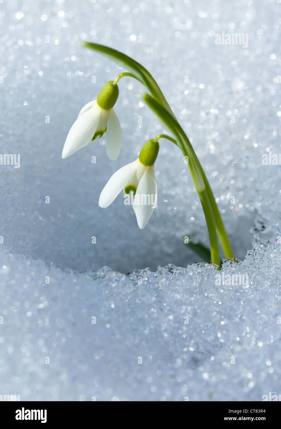 Recording icon - Snowdrop - Stock Image