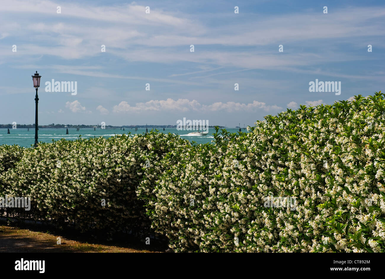 A flowering hedge of the scented trachelospermum jasminoides (Star Jasmine) in front of the Biennale Gardens (Giardini della Biennale), Venice, Italy Stock Photo