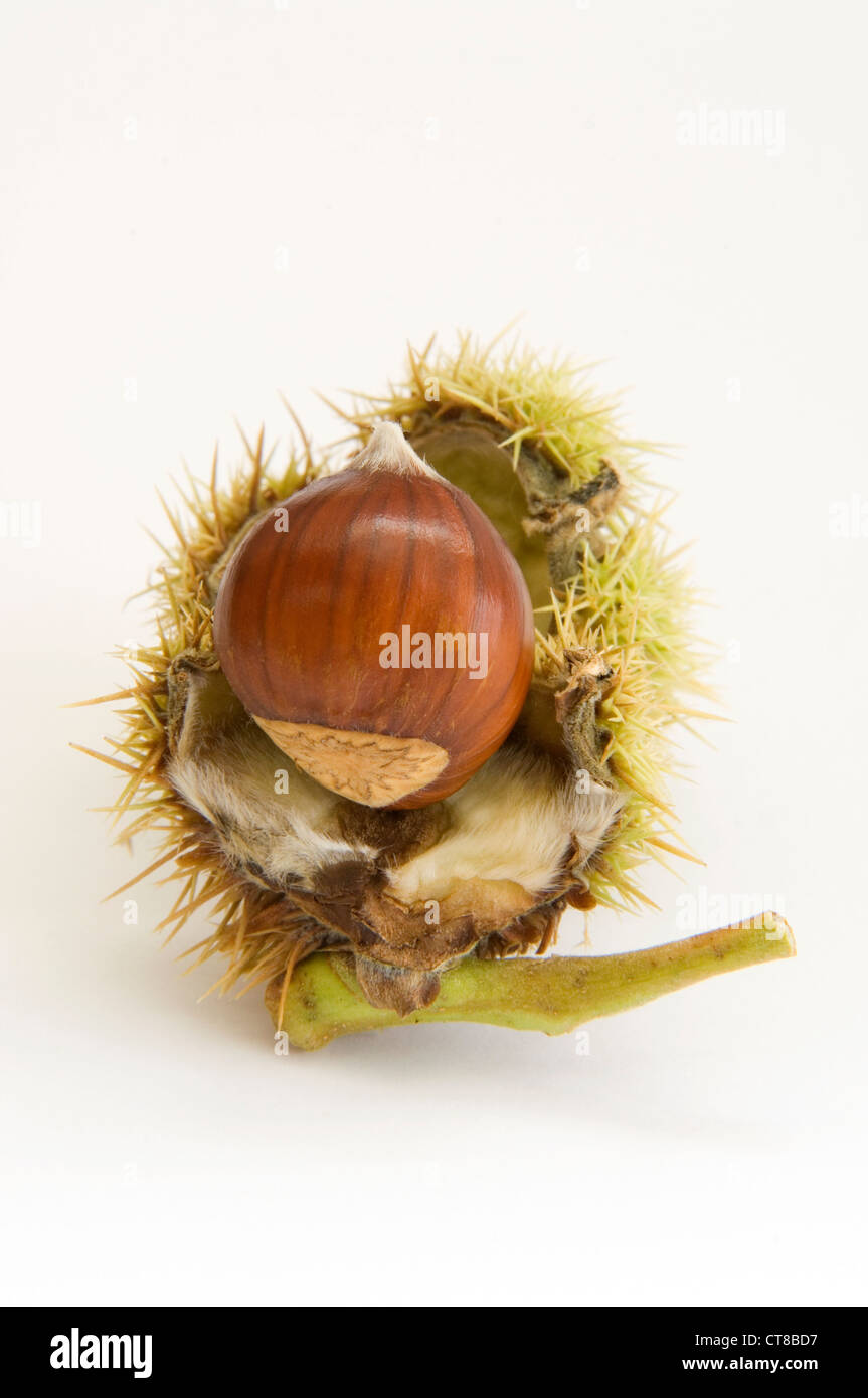 Chestnut with it's spiky seed case - Stock Image