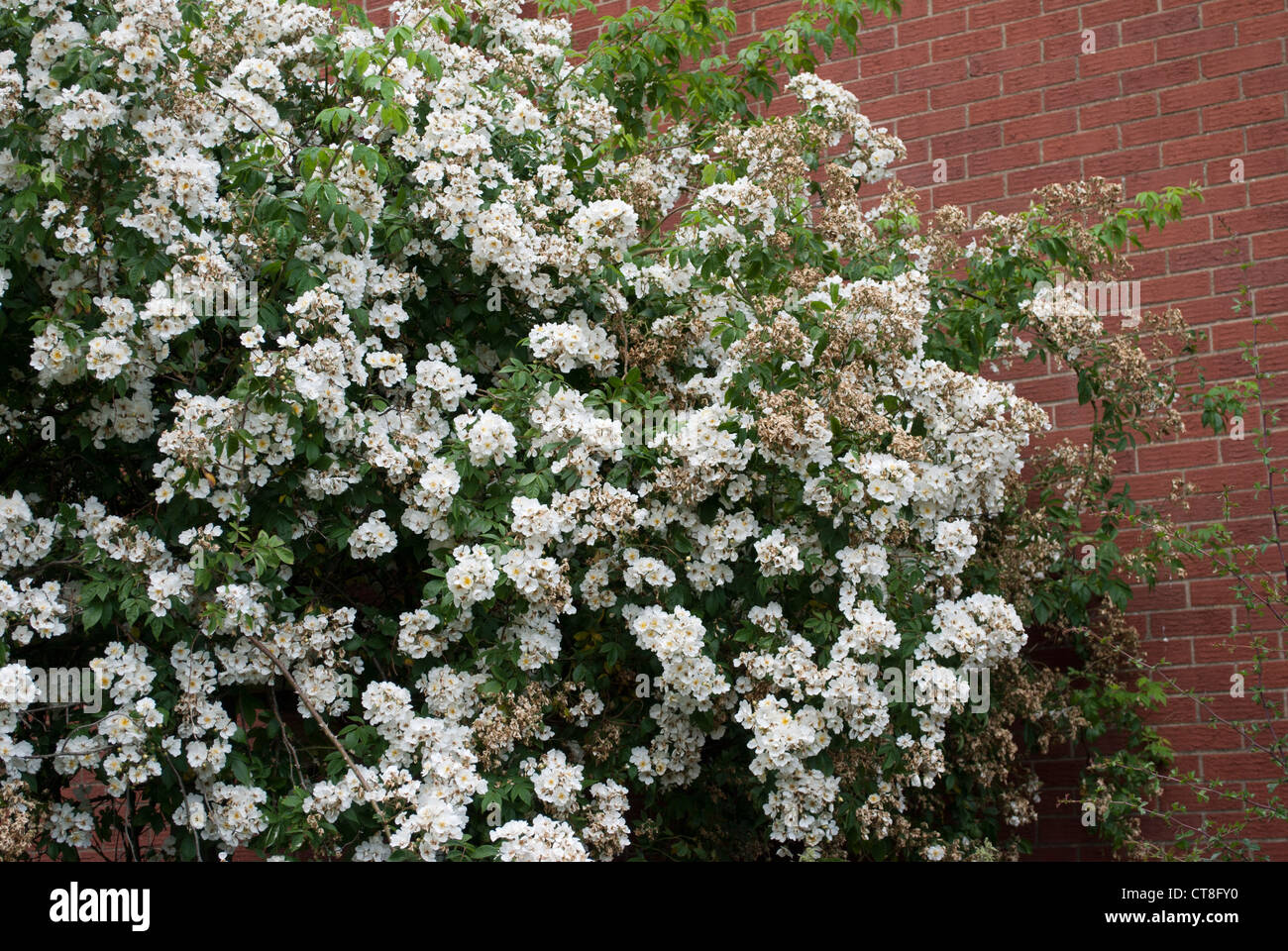 Climbing Rose Against Wall Stock Photos Climbing Rose Against Wall