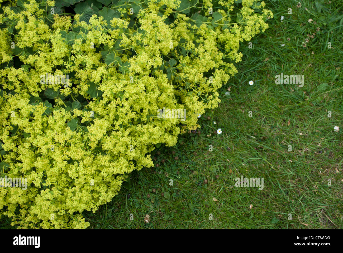 Yellow Flowered Plant Growing Over The Edge Of A Rough Lawn Dividing