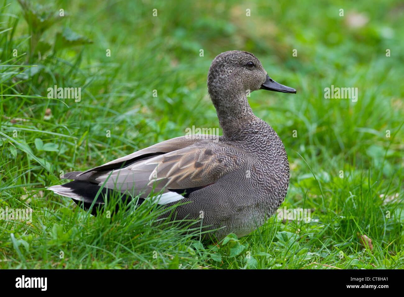 Gadwall (Anas strepera / Mareca strepera) male resting on land, Germany - Stock Image
