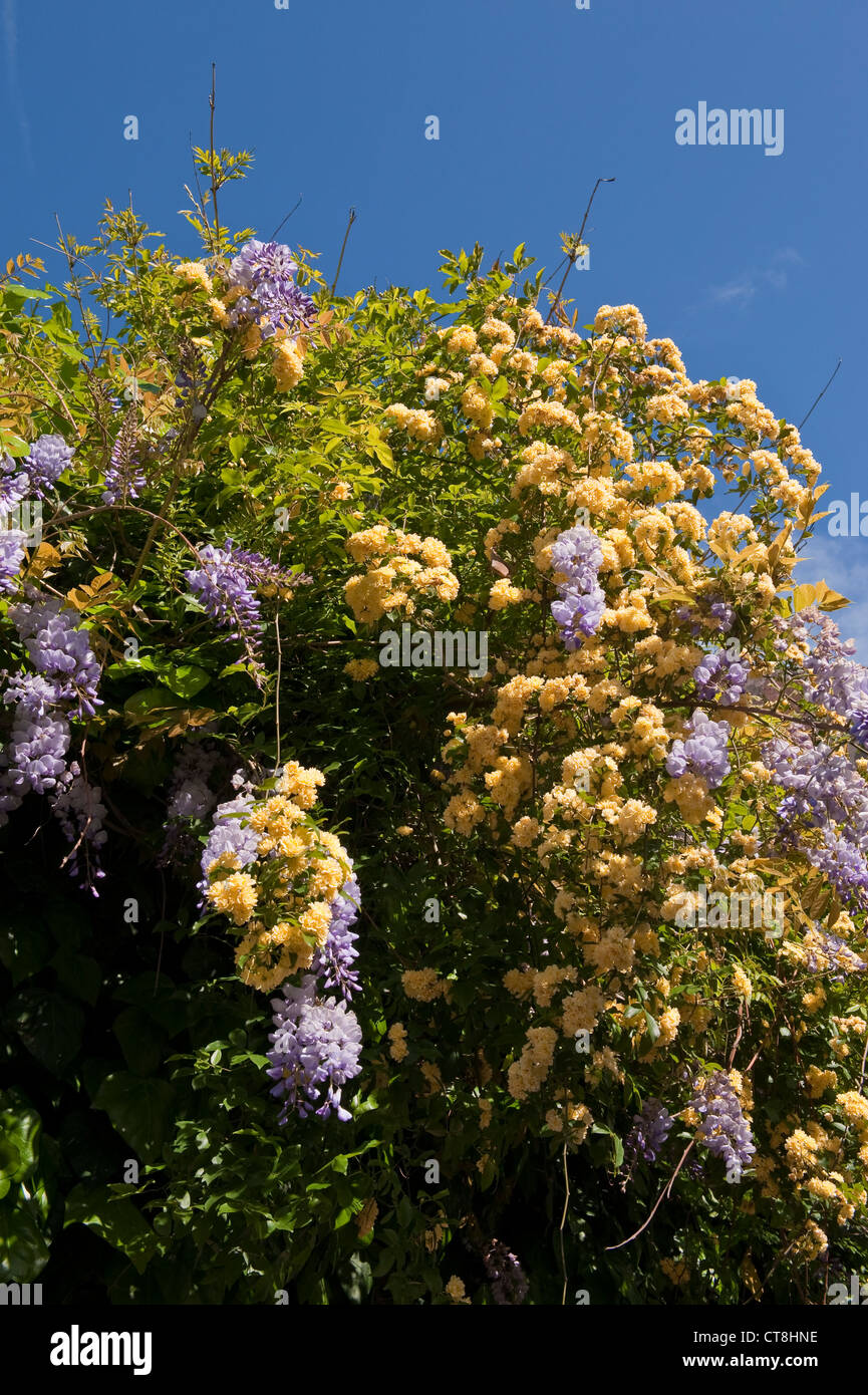 Venice, Italy. A climbing double yellow banksia rose and a Japanese wisteria tumble over the wall of a private garden - Stock Image