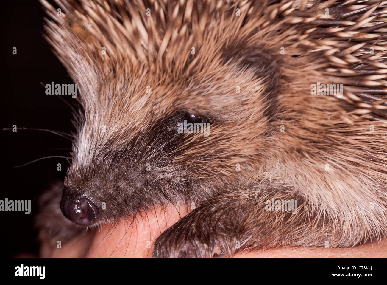 Close up of a baby hedgehog sitting on a hand - Stock Image